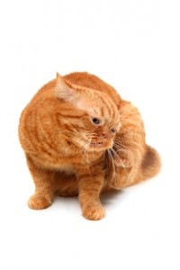 itchy ginger cat