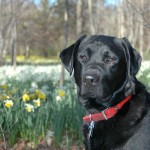 Angus - Canine Good Citizen Title