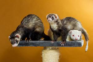 domesticated-ferret