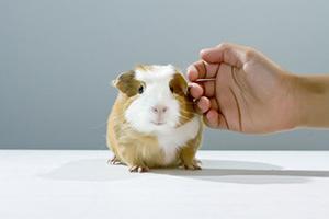guinea-pig-dartmouth