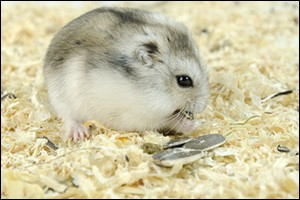 hamster-health-risks
