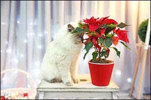 Cats and Holiday Plants